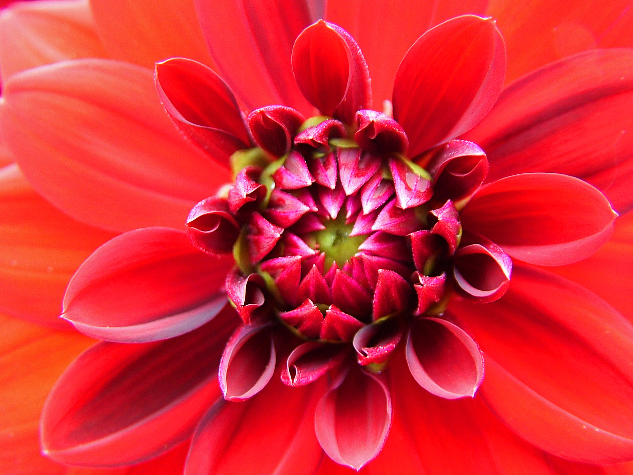 Chrysanthemum flower facts