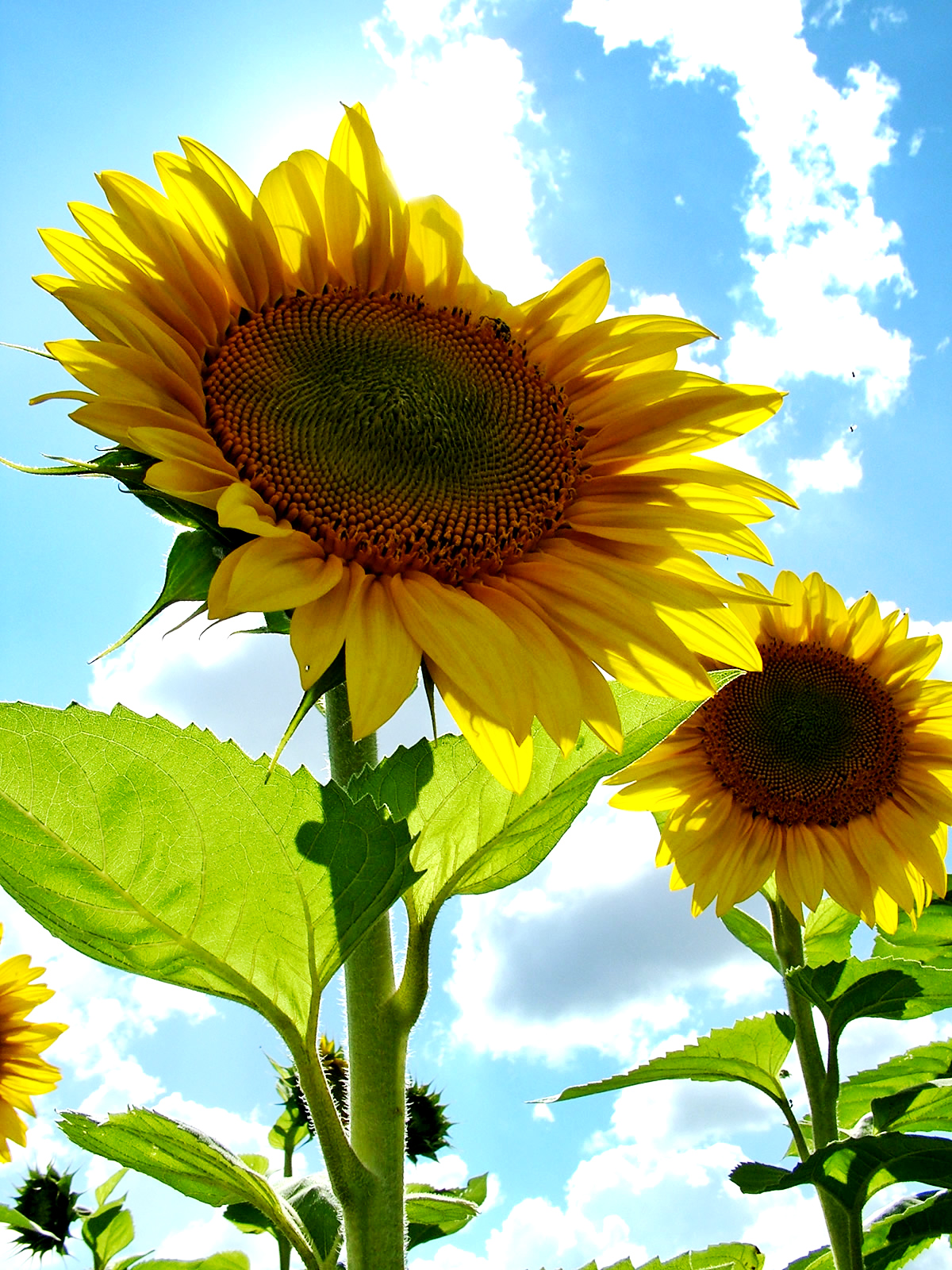 Fun ways to decorate with sunflowers
