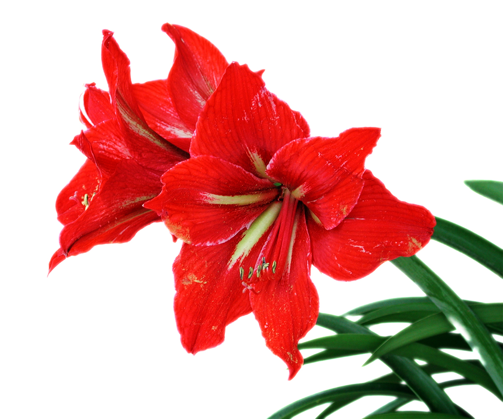 Ravishing Red Blooms Flower Press