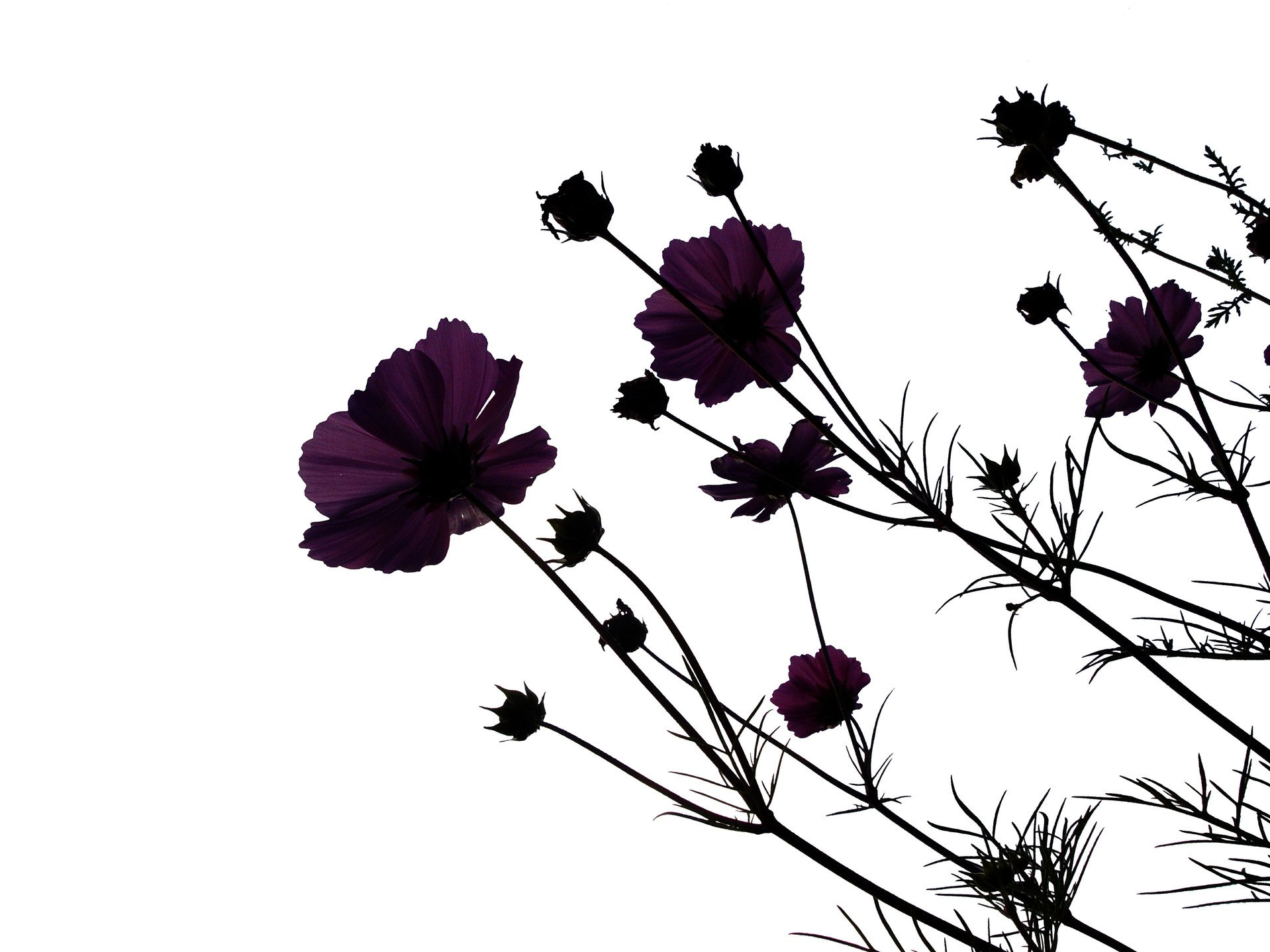 Black flowers are beautiful flower pressflower press black flowers izmirmasajfo