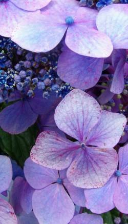 Hydrangea flower meaning