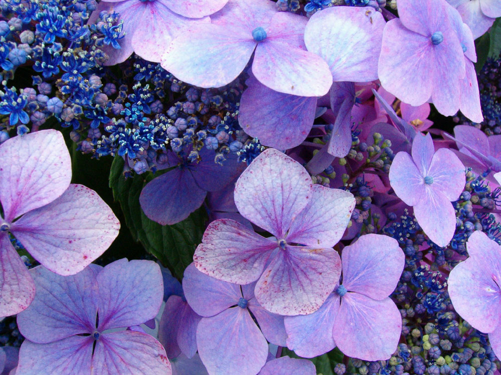 What do hydrangeas mean