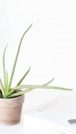 Benefits of eating aloe vera