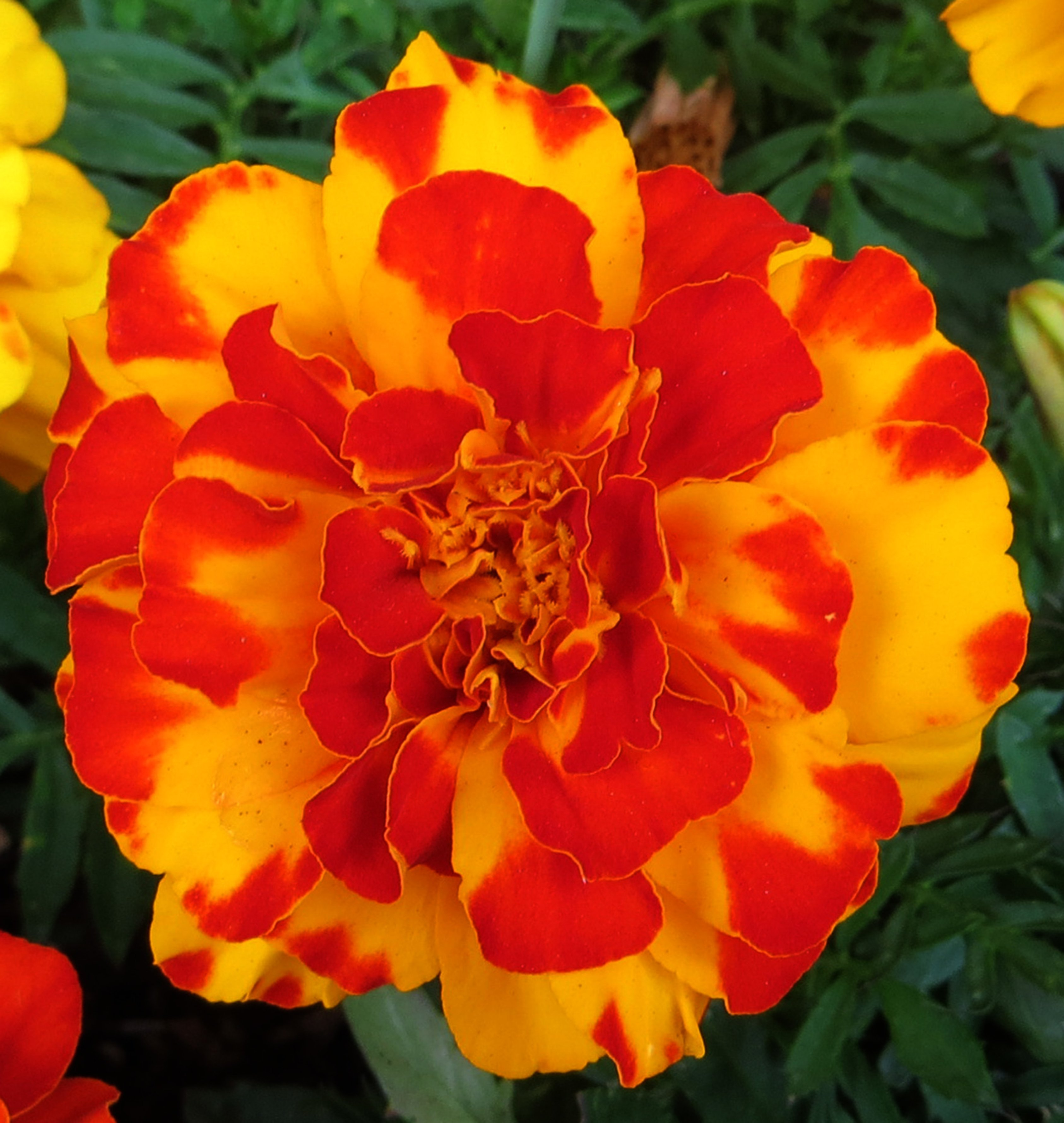 Why we love marigolds