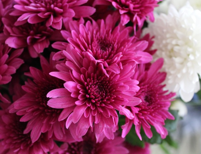 Chrysanthemum flower facts