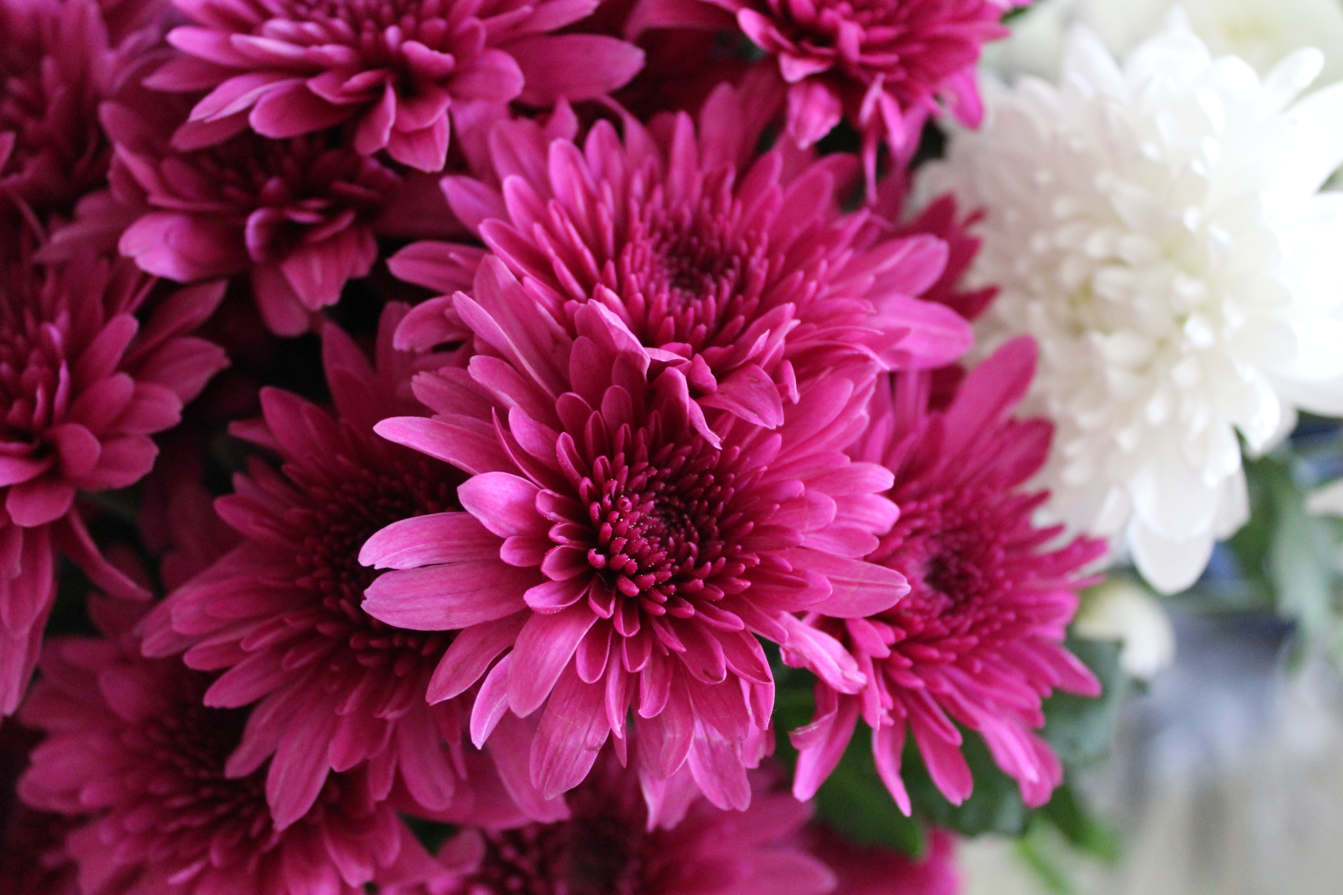 All About Chrysanthemums Flower Press
