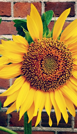 Sunflower candle holders