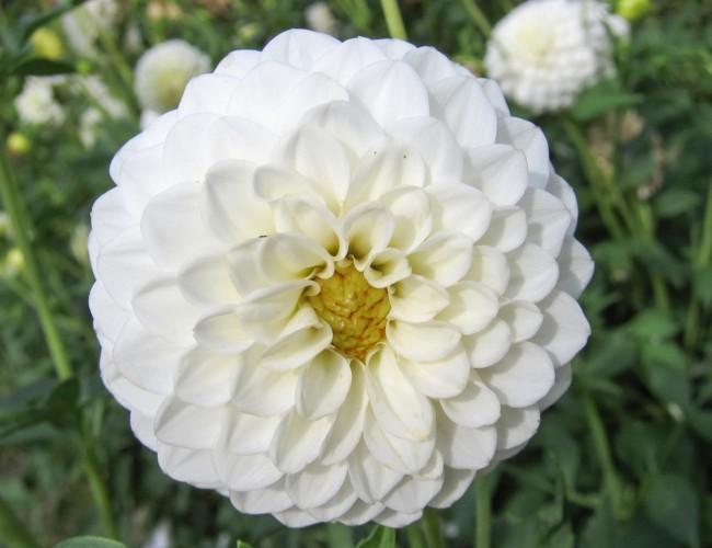 Dahlias flower facts