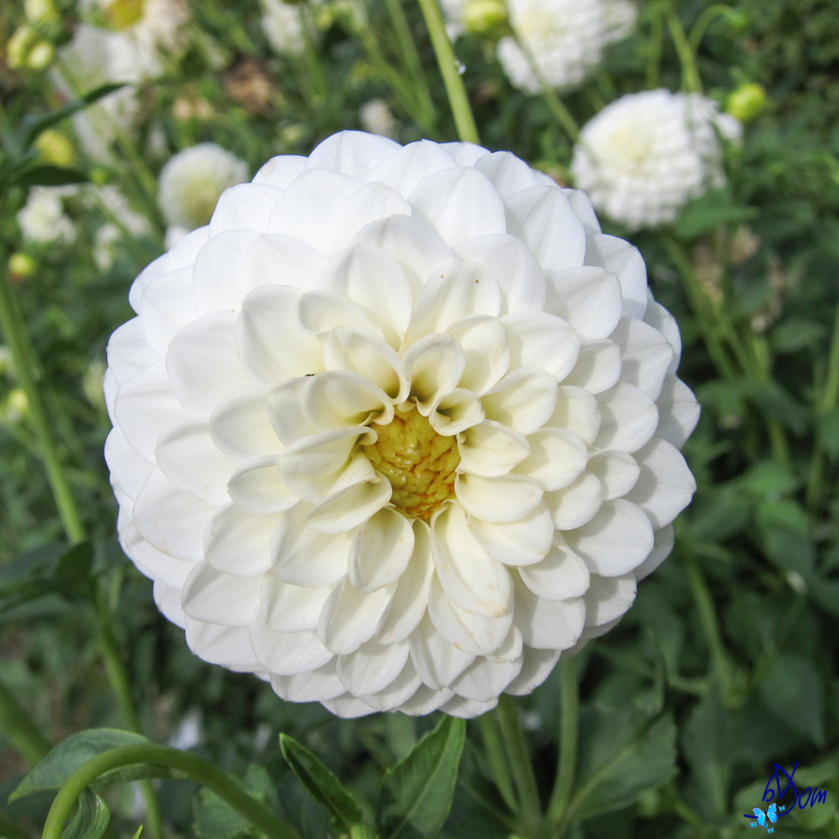 What You Need To Know About Dahlias Flower Press