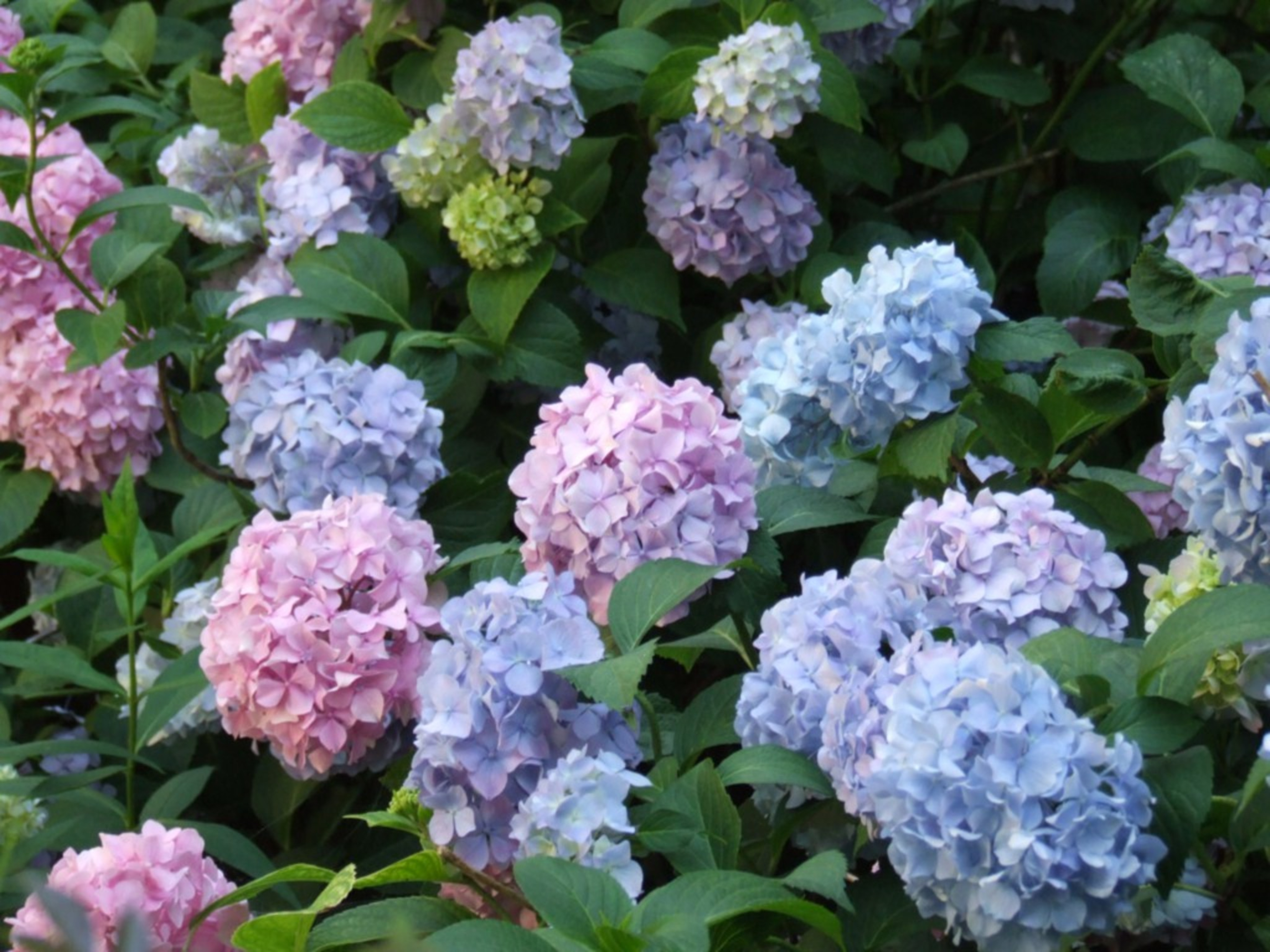 Can you change the colour of hydrangeas?