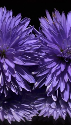 Aster flower facts